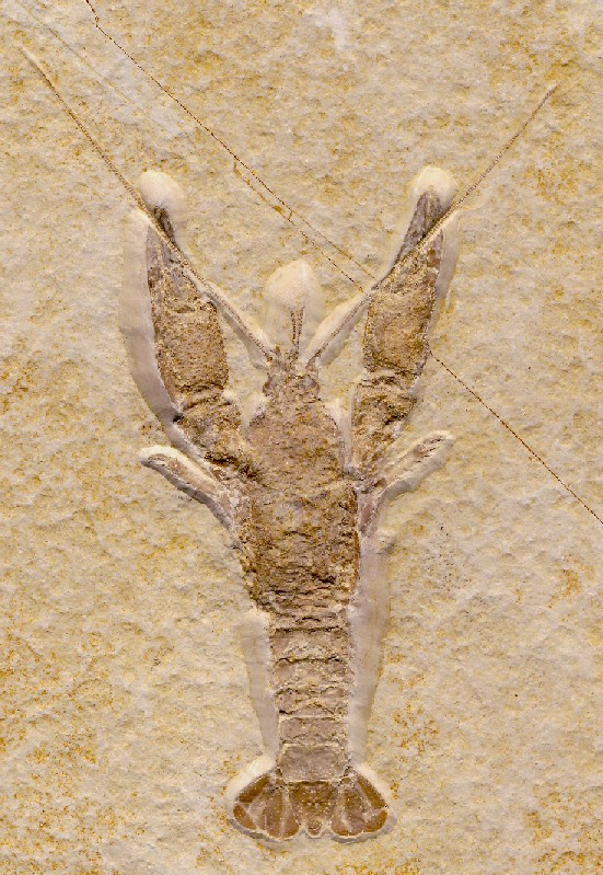Erymastacus major